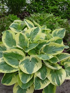 Hosta Snow Cap