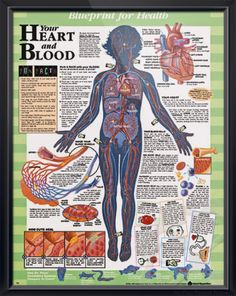 Your Heart and Blood anatomy poster shows how cuts heal and details fun things to try in the classroom or at home. For cardiologists, pediatric doctors and educators. #backtoschool