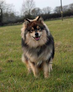 Lapinkoira Wolf Sable Cute Puppies, Cute Dogs, Dogs And Puppies, Animals And Pets, Baby Animals, Cute Animals, Maremma Sheepdog, Dog Pee, Pomsky