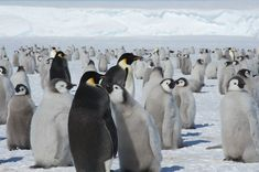 A recent visit to a remote Antarctic emperor penguin colony found thousands of fuzzy penguin chicks, meaning the colony is even bigger than previously thought. A team from Belgium's Princess Elisabeth Antarctica polar research station estimates there are 15,000 penguins living in four groups at the colony, on East Antarctica's Princess Ragnhild Coast. The team counted the number of chicks demanding regurgitated meals from their parents to gauge the total colony size, because the adults were…