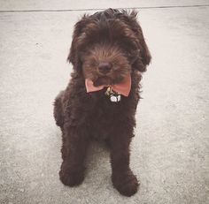 chocolate labradoodle -- if Sherlock and The Doctor had a dog...