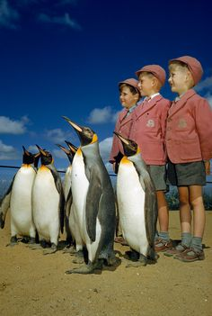 """Boys dressed up in school uniforms pose with king penguins at the London Zoo, Photograph by B. Anthony Stewart and David S. Boyer, National Geographic Creative, [via the absolute PHOTOGRAPHY. Photographie National Geographic, National Geographic Photography, King Penguin, Penguin S, National Geographic Archives, National Archives, Polo Sul, Malamute, Parc National"