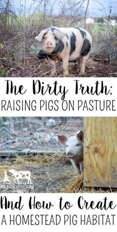 Learn the dirty truth about raising homestead pigs on pasture, how much land you really need, and how to give your pigs a good life. by aline Raising Farm Animals, Raising Chickens, Pigs Raising, Baby Chickens, Homestead Farm, Homestead Survival, Homestead Living, Survival Skills, Survival Life