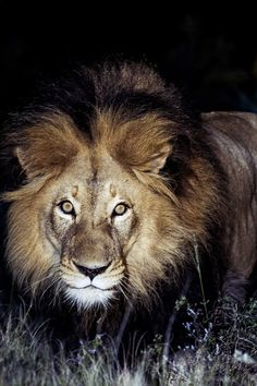 African Lion @ Night