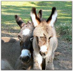 http://www.heavenlydonkeys.com/Foals/2007/Skippya.jpg