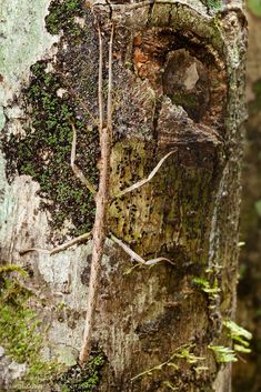 Stick Insect {Phasmid} in rainforest  camouflaged tree trunk. Andasibe-Mantadia NP, Madagascar. Beautiful Bugs, Beautiful Pictures, Cool Bugs, Wooden Walking Sticks, Animal Kingdom, National Parks, Wildlife, The Incredibles, Hyde