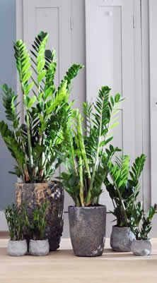 Zamioculcas als kamerplant van de maand september - Zamioculcas zamiifolia 'Zamicro'