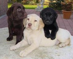 awe.. I had all three Chocolate Lab, was named Elvis. Yellow Lab was named Lucky and I had two black labs Buck and Katy growing up.. Labs are a great breed :) <3