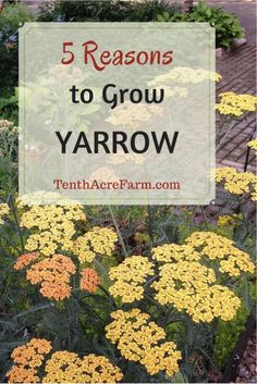 Reasons to Grow Yarrow in Your Garden The yarrow plant is a flowering herb with many uses medicinally and in the permaculture garden.The yarrow plant is a flowering herb with many uses medicinally and in the permaculture garden. Types Of Herbs, Herbs, Plants, Permaculture Gardening, Yarrow Plant, Medicinal Plants, Healing Plants, Planting Herbs, Gardening Tips