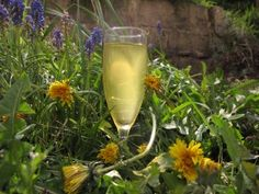 Dandelion Champagne a prince amongst drinks better the elderflower champagne, find this recipe and 100 more in Booze for free.
