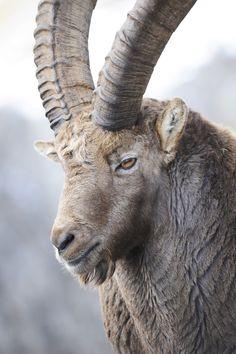 12 Jahre alter Steinbock im November,Wallis,Schweiz.(12 years old Capricorne,Swiss Alps)