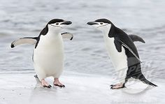 Excerpt: Maximizing Turn and Talks via the'In-Cue' - Teach Like a Champion Teach Like A Champion, Turn And Talk, Field Notes, Cute Penguins, Antarctica, Teaching Tips, Coaching, Beach, Blog