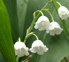 Beautiful name for such a beautiful flower, Lily of the valley