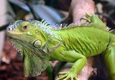 Iguana Iguana é um género de répteis da família Iguanidae, característico das zonas tropicais das Américas: América Central, norte do Brasil e região central do México.