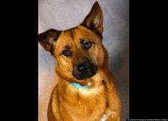 Blossom Blossom (15900136) is a spayed German Shepherd mix turned in by her owners. She is about 2 years old. Call the Humane Society of Greater Miami-Dade at 305-696-0800 .