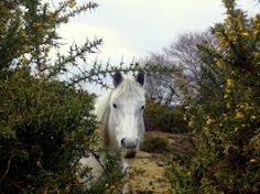 A pony in the New Forest