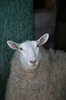 Border Leicester ewe