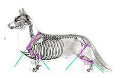 Structure Cardigan Welsh Corgi, Cute Corgi, Fun Dog, Dog Things, Pembroke Welsh Corgi, Animal Care, Corgis, Chai, Pet Care