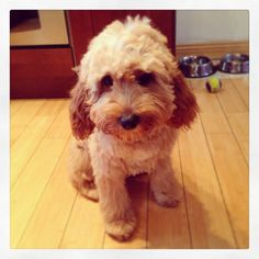 After his first haircut. Cute cavapoo!