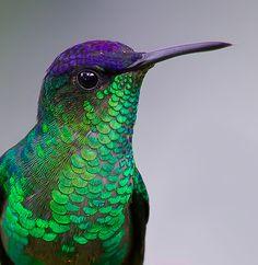 Beija-flores pelas Américas de Fronte violeta(thalurania glaucopis