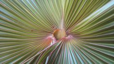 Detail from a Traveller's Palm, Mauritius