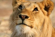Lioness by peo pea; she has such a pleased look on her face