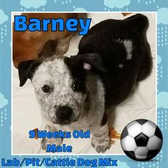 Meet Barney, an adoptable Pit Bull Terrier looking for a forever home. If you're looking for a new pet to adopt or want information on how to get involved with adoptable pets, Petfinder.com is a great resource.