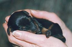 Manchester Terrier Puppies | Before finally deciding we strongly recommend you meet some adult dogs ...
