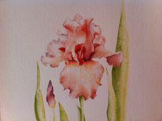 Iris abricot