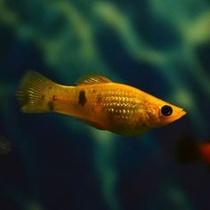 What's in a name? Mollies were not named after someone named Molly. The name comes from their old scientific name, Mollienesia, which was in honor of a late eighteenth century gentleman with the surname of Mollien. (Aquarium USA) Photo Courtesy: Karen Faljyan/Shutterstock