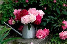 Pivoine : planter et tailler – ComprendreChoisir