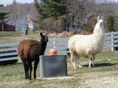 Lamas of Tendercrop Farm, Newbury Mass.