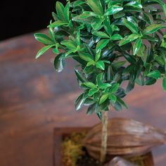 """Euonymus Tree:    These miniature trees with their evergreen leaves are great for the not-so-green thumb or the sophisticated European gardener. Potted in our olive box, definitely indoors for winter! It will flourish in diverse conditions from dry and shady to full sun. Measures 5.5""""x5.5""""x16.75"""". Requires 2nd day shipping.    http://www.oliveandcocoa.com/product/Euonymus_Tree?r=PT_A_201204"""