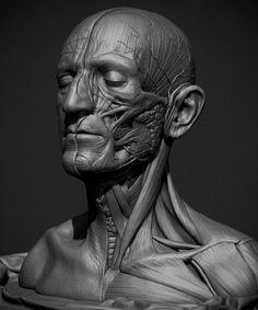 askutt anatomy study muscle