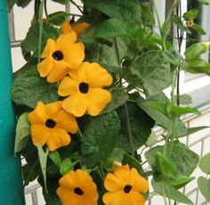 Black-eyed Susan Vine Yellow (Thunbergia alata) Annual climbing flowering plant, growth up to 1.5-2 m (60-80 in.) height. Yellow, funnel-shaped flowers, diameter 4-5 cm (1.5-2 in.) with a dark purple heart. Blooms from July until frost. Use for balconies, gazebos, fences and hanging pots. Please take a look to our other great varieties we combine shipping, for each additonal item from us SHIPPING IS FREE All our seeds are 100% Organic and Non-GMO Visit our eBay Store: Nikitovka Seeds In…