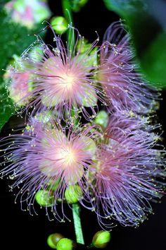 https://flic.kr/p/yh9abm | さがりばな (下がり花) /Barringtonia racemosa | 20150923-DSC09360 さがりばな (下がり花) /Barringtonia racemosa サガリバナ科サガリバナ属。 英名 Common putat 京都府立植物園/Photo was taken in The Kyoto Botanical Garden 昼夜逆転室