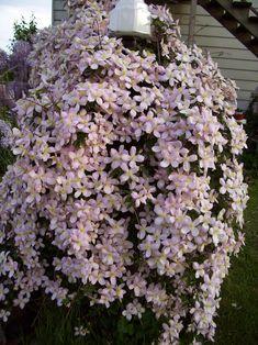 Montana Clematis (Elizabeth). old wood bloomer & fragrant