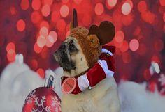 Our Boo Lefou a.k.a. Boo-dolph waiting for Santa. #pug #dog #Christmas #reindeer #Rudolph #Santa #cute #costume