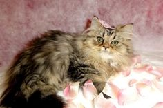 Golden Shaded Female 5 Charming Persian Cats For Sale In Miami In Cat Category Persian Kittens Kittens Cutest Persian Cats For Sale
