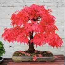 35 Sementes Acer Maple Palmatum Bonsai Planta Flores Árvore