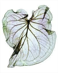 Image result for leaf x ray