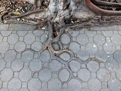 Three roots adapting to the sidewalk pattern