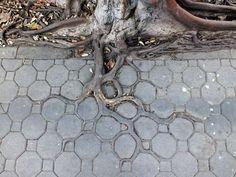 Three roots adapting to the sidewalk pattern