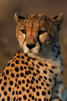 Cheetah portrait - null