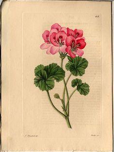 236706 Pelargonium coburgiae Tratt. / Trattinnick, L., Neue Arten von Pelargonien, vol. 4: t. 148 (1829)