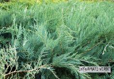 Tappeto di Juniperus! Per conoscere le varietà potete visitare www.informativerde.wordpress.com
