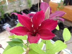 Clematis 'Ruutel' (just opening) is a nice medium flowered red variety, very free flowering all late summer long, enjoying a hard prune back to 18 inches in March.
