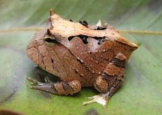 Amazon Horned Frog, Ceratophrys cornuta. Photo by William Quatman: Aggressive and territorial with voracious appetites, and indiscriminate tastes the 'Pac Man Frog' can grow to the size of a tea saucer! #Frog #Amazon_Horned_Frog