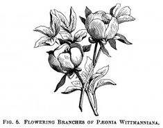 Wittimanniana peony, peony clip art, botanical engraving, black and white graphics, free printable vintage flower