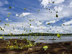 Grandi raduni di farfalle sono comuni lungo il fiume Iguazu al confine con Brasile e Argentina. Quando il flusso del fiume si abbassa, le sponde rocciose emergono e trattengono l'acqua in piccoli stagni molto ricche di sali minerali. Questo attira le farfalle di varie specie, soprattutto della famiglia Pieridae. Le farfalle assorbono e concentrano i sali nei loro corpi, pompando fuori l'acqua in eccesso.